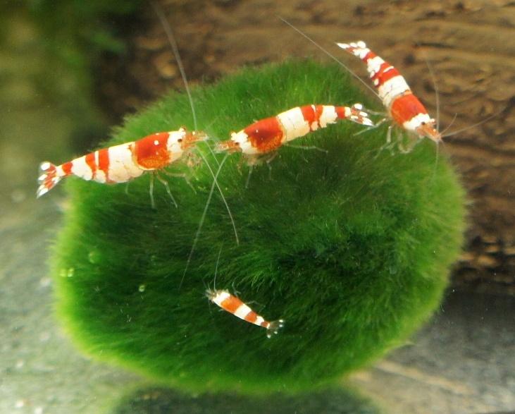 Кладофора – естественный фильтр в вашем аквариуме