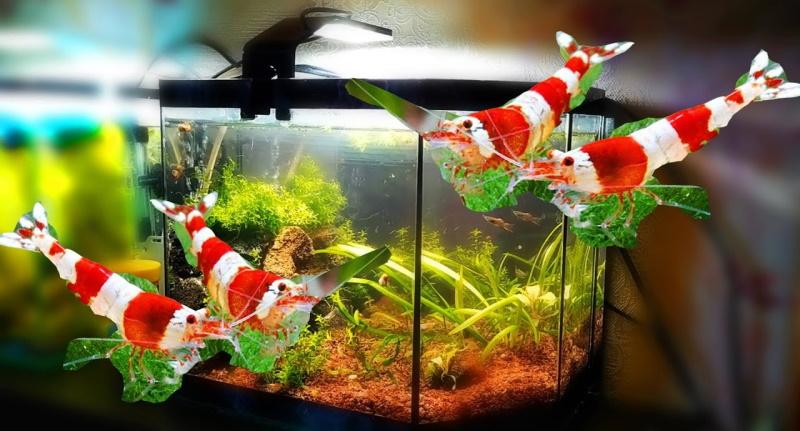 Сколько стоит аквариум креветочник